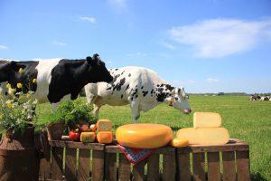 Koeien in het weiland bij kaas zuivelboerderij noordam
