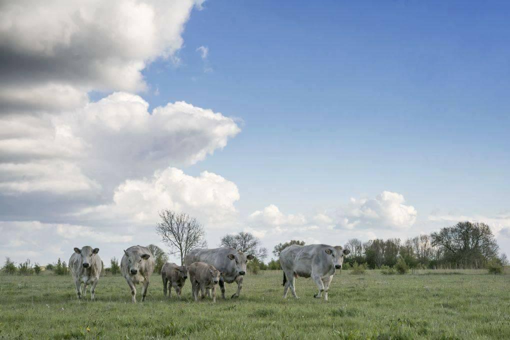 Koeien in de wei met wolken bij Bommelbeef
