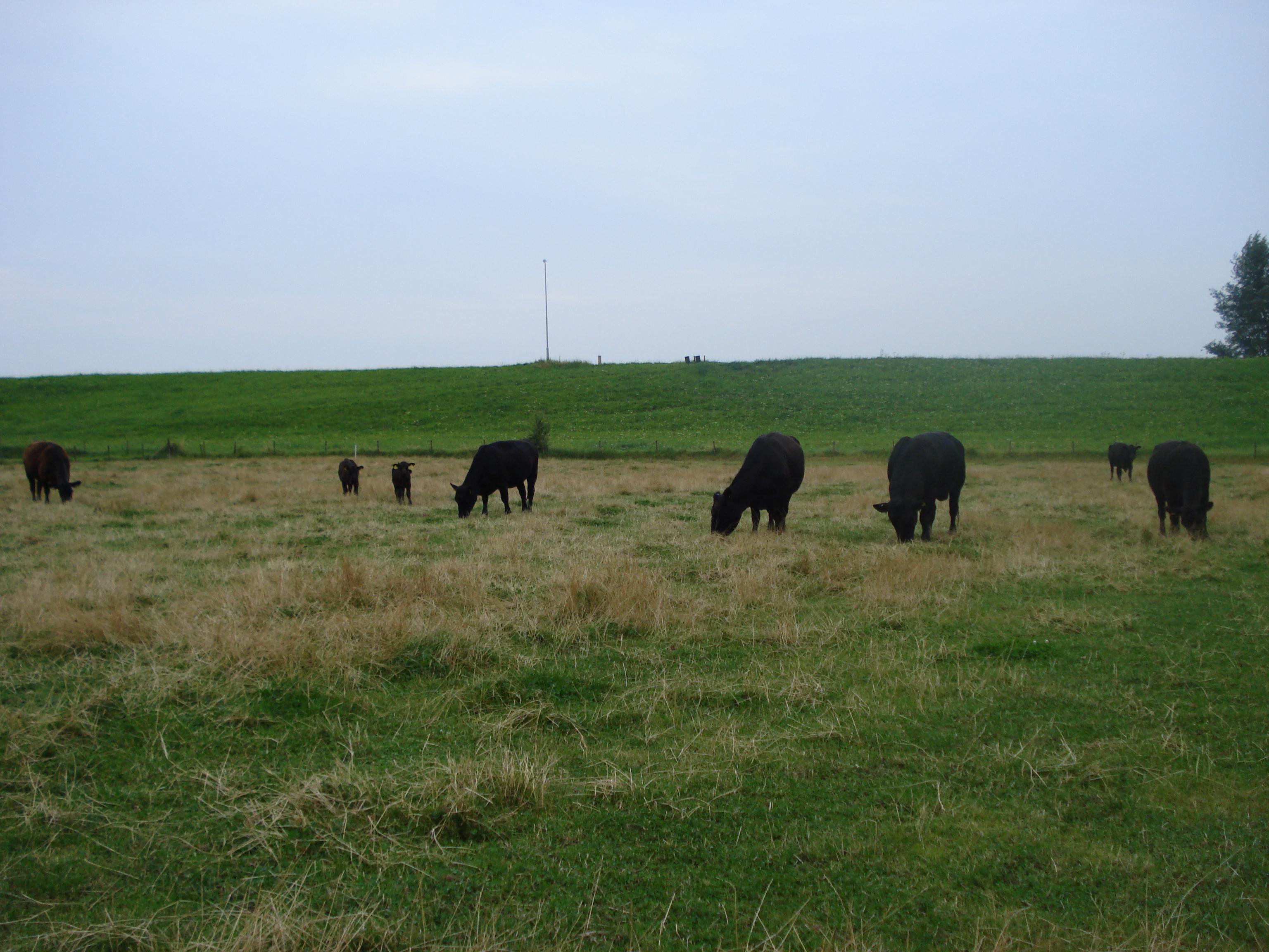koeien in de wei veraf