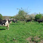 koeien in de wei bij de pippert