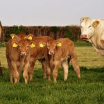 koeien in de wei bij de boerderijwinkel