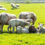 schapen in de wei bij de witte schuur