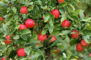 appels aan de boom bij van der zalm